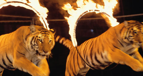 tigers-and-flames